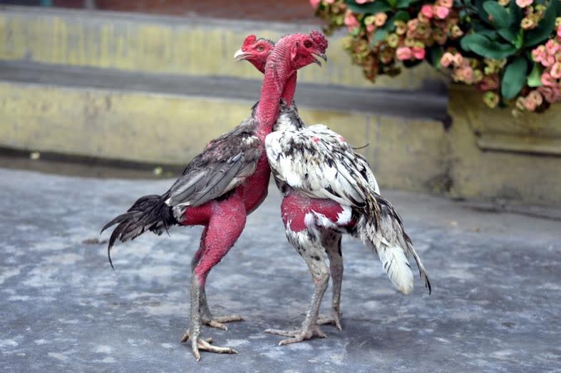 Thức ăn cho gà rất quan trọng